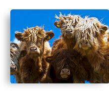 Friendly curious highland cattle Canvas Print