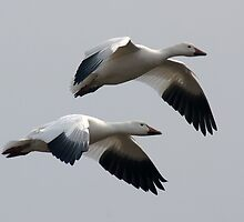 Snow Geese in Flight by Michael Mill