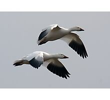 Snow Geese in Flight Photographic Print