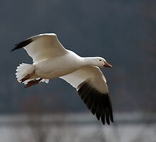 Snow Goose in Flight by Michael Mill