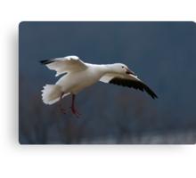 Snow Goose Flying Canvas Print