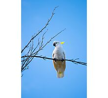 Sulphur Crested Cockatoo Serenity Photographic Print