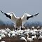 Snow Goose Landing by Michael Mill