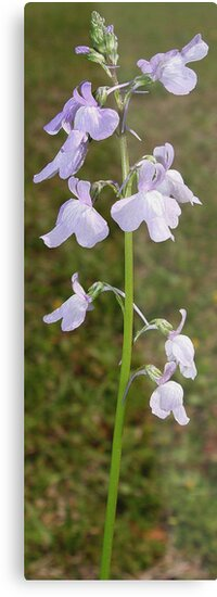 Toadflax - Linaria canadadensis by May Lattanzio