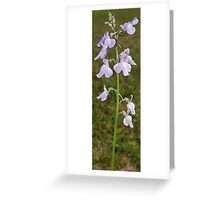 Toadflax - Linaria canadadensis Greeting Card
