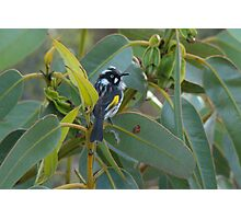 New Holland Honeyeater Photographic Print