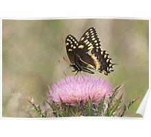 ANISE BUTTERFLY Poster