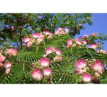 Spring Mimosa Blooms Photographic Print