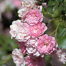 Pink Spray by Donna Adamski
