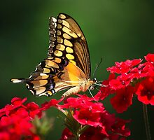 Giant Swallowtail Butterfly by Christina Rollo
