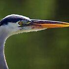 Great Blue Heron - Right Profile by Stephen Beattie