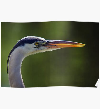 Great Blue Heron - Right Profile Poster
