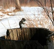 Squirrel On Hollow Stump by HALIFAXPHOTO