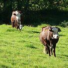 Comboyne Herefords by louisegreen