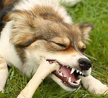 Mongrel pet dog enjoying a large bone by RedSteve