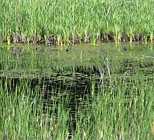 Reeds by Tracy Faught