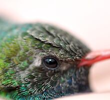 Close up Broadbill  Hummer by Judy Grant