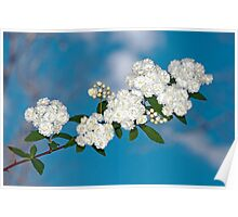Bridal Wreath Bough Against the Sky Poster