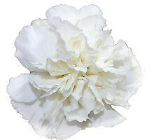 Single White Carnation  Photographic Print