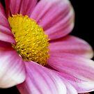 Chrysanthemum 2 by Robert Kendall