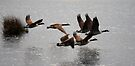 Canada Geese leaving Shapwick 3 by SWEEPER