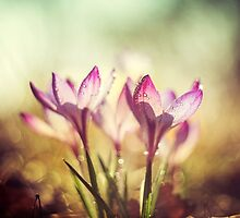 Violet crocuses in the morning sunlight by JBlaminsky