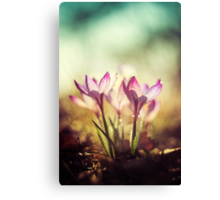 Violet crocuses in the morning sunlight Canvas Print