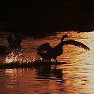 Swan Silhouettes by Martina Fagan