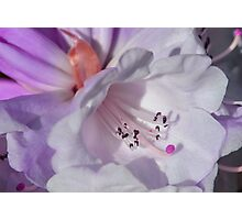 Pretty White Rhododendron with Magenta Photographic Print