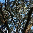 Savannah Moss Tree by cfam