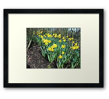 Bed of Daffodils Framed Print
