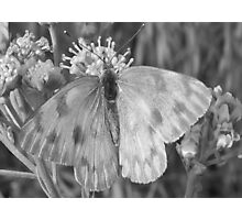 The common Checkered white... Photographic Print