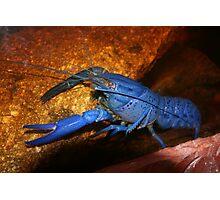 Freshwater marron Photographic Print