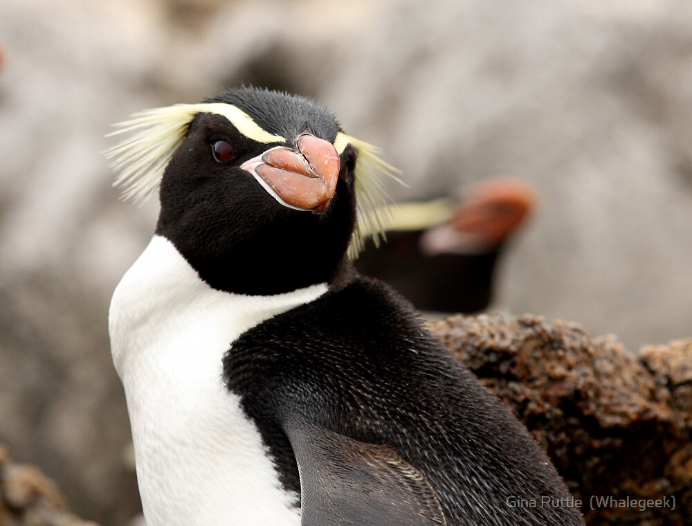 Snares Island Penguin by Gina Ruttle  (Whalegeek)