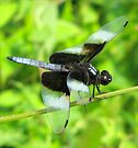 Widow Skimmer Dragonfly by Ginny York