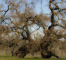 Oaks by olivia destandau