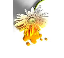 The Melting Gerbera ... Photographic Print