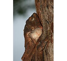 Flat to the tree (male frilled neck lizard) Photographic Print