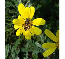 Bee Fly Photographic Print