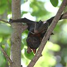 Little red flying fox by InNature