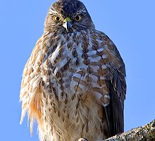 Sharp-shinned Hawk by tedardley