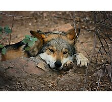 Lazy Wolf Photographic Print