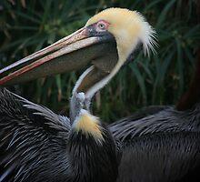 Pelican Wingspan by Ashley Stevens