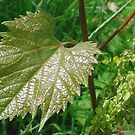 A Leaf by sternbergimages