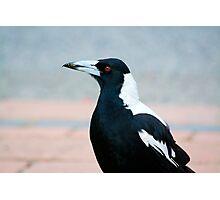 Australian Magpie Photographic Print