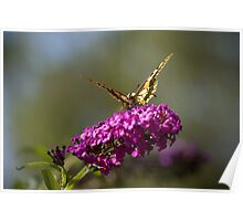 Butterfly Feeding On Tasty Flowers Poster