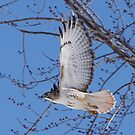 In a hurry......Red Tail on the move. by lloydsjourney