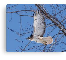 In a hurry......Red Tail on the move. Canvas Print