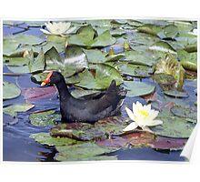 Dusky Moorhen - Cobaki Lake, Tweed, NSW Poster