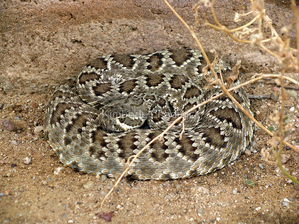 Mohave Rattler ~ Deadly Patience by Kimberly Chadwick